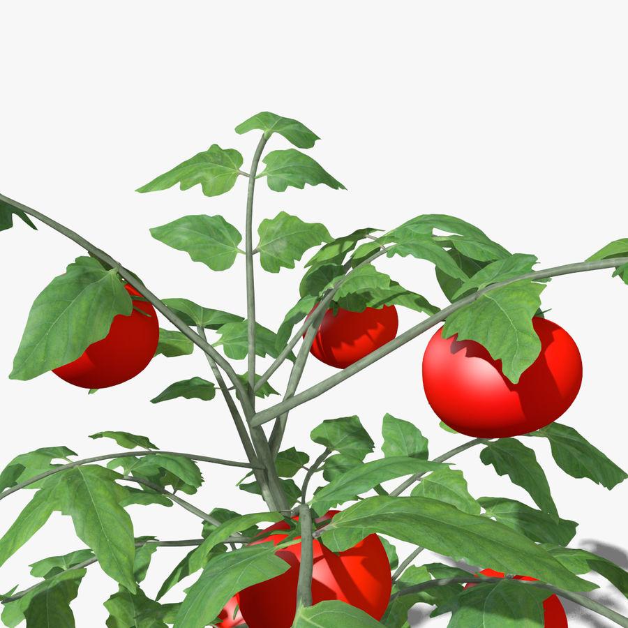 Roślina Pomidorowa royalty-free 3d model - Preview no. 4