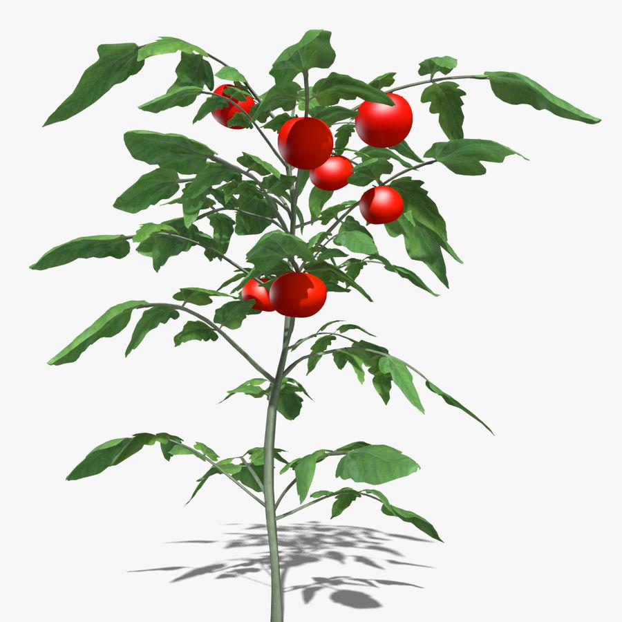 Roślina Pomidorowa royalty-free 3d model - Preview no. 3