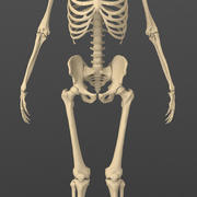 Exact realistic human male skeleton. 3d model
