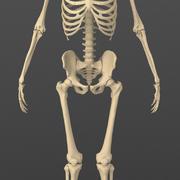 Exact realistisch menselijk mannelijk skelet. 3d model