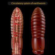 Système circulatoire du ver de terre 3d model