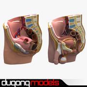 Male & Female Pelvis Section 3d model