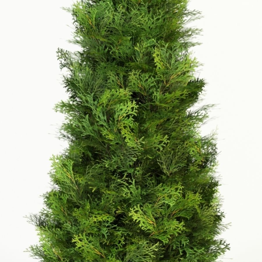 thuja occidentalis columna royalty-free 3d model - Preview no. 1