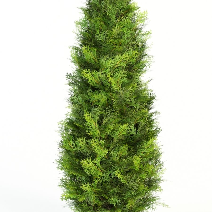 thuja occidentalis columna royalty-free 3d model - Preview no. 4