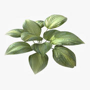 Hosta roślinna 3d model