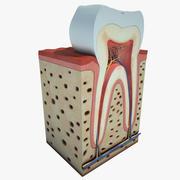 Anatomía del diente 01 modelo 3d