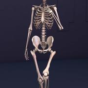 The Skeleton 3d model