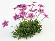 saxifraga plant 3d model