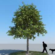 Tipo di albero di tiglio 07 3d model