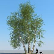 Birch Tree Type 12 3d model