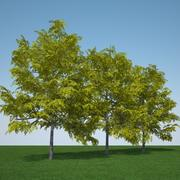 Gleditsia Triacanthos pakiet Sunburst 3d model