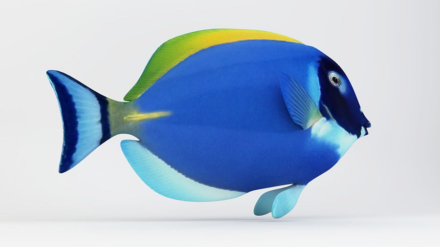 Blue Tang Fish royalty-free 3d model - Preview no. 6