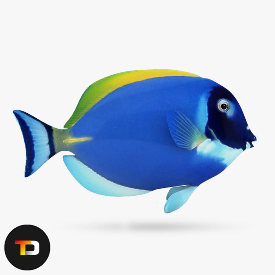Blue Tang Fish royalty-free 3d model - Preview no. 1