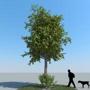 Tipo di albero di tiglio 12 3d model