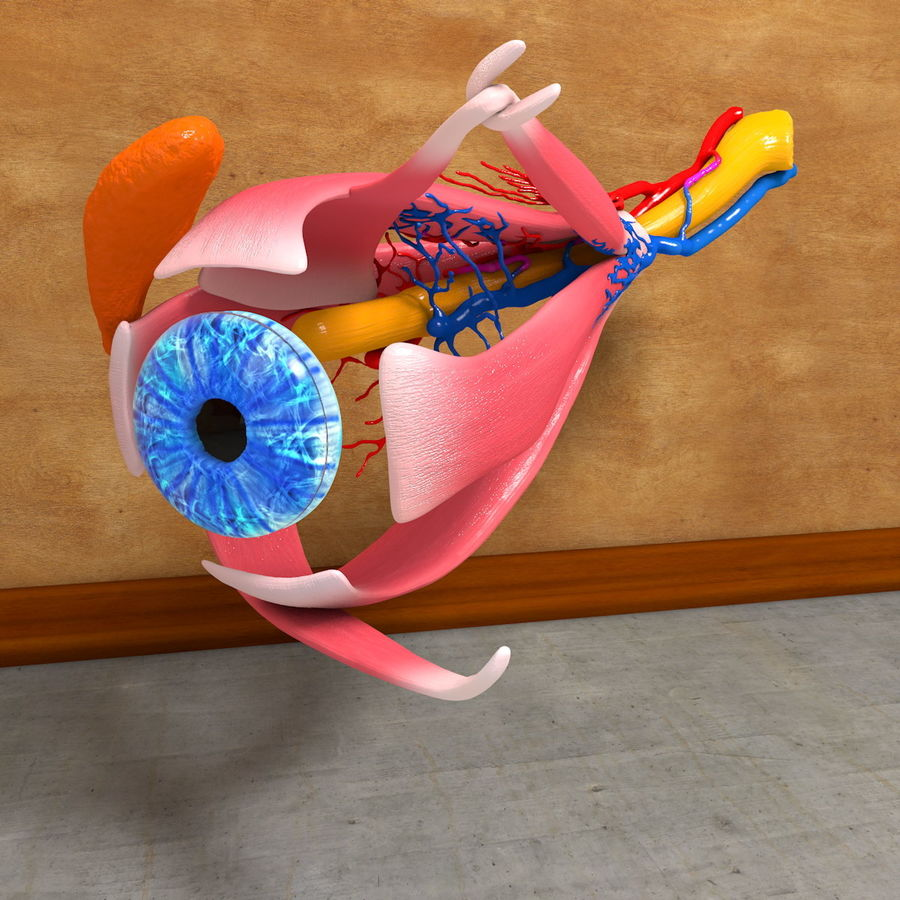 Human Eye Anatomy Muscles Organ Nerves royalty-free 3d model - Preview no. 11