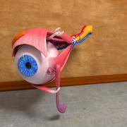 Anatomia do olho humano Músculos Nervos de órgãos 3d model