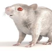 白いネズミ 3d model