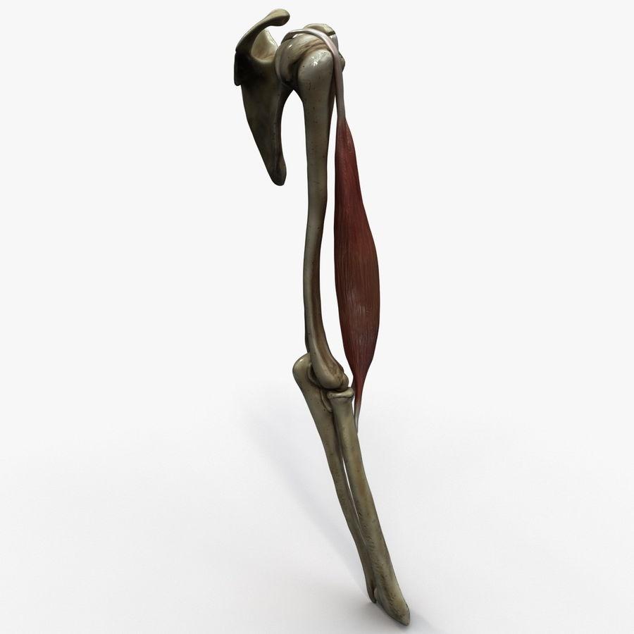 二头肌肌肉解剖 royalty-free 3d model - Preview no. 5