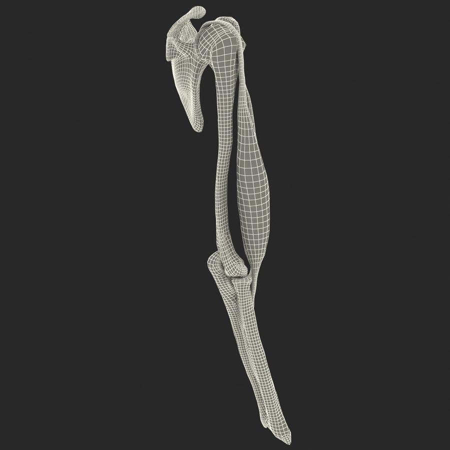 二头肌肌肉解剖 royalty-free 3d model - Preview no. 16