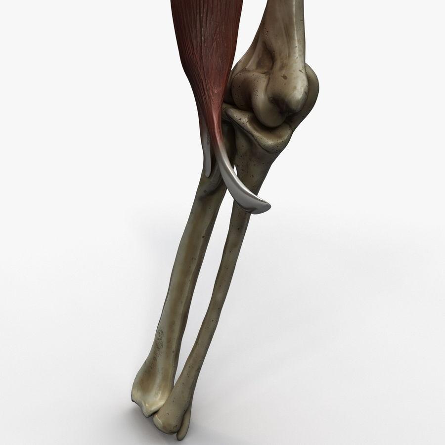 二头肌肌肉解剖 royalty-free 3d model - Preview no. 13