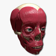 Massimi muscoli facciali e ossa del cranio 3d model