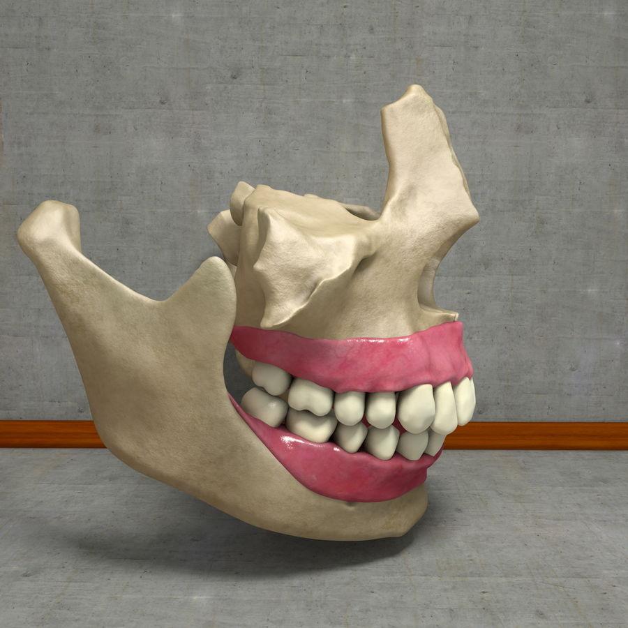 Jawbones 및 잇몸 해부학을 가진 인간의 치아 royalty-free 3d model - Preview no. 4