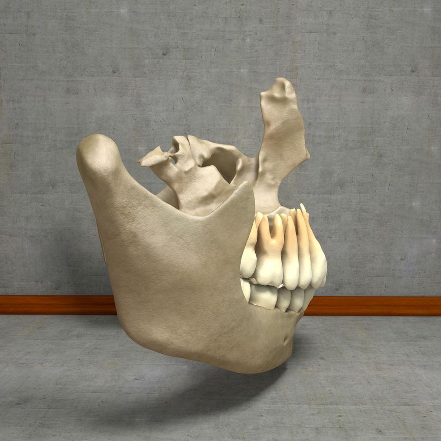 Jawbones 및 잇몸 해부학을 가진 인간의 치아 royalty-free 3d model - Preview no. 15
