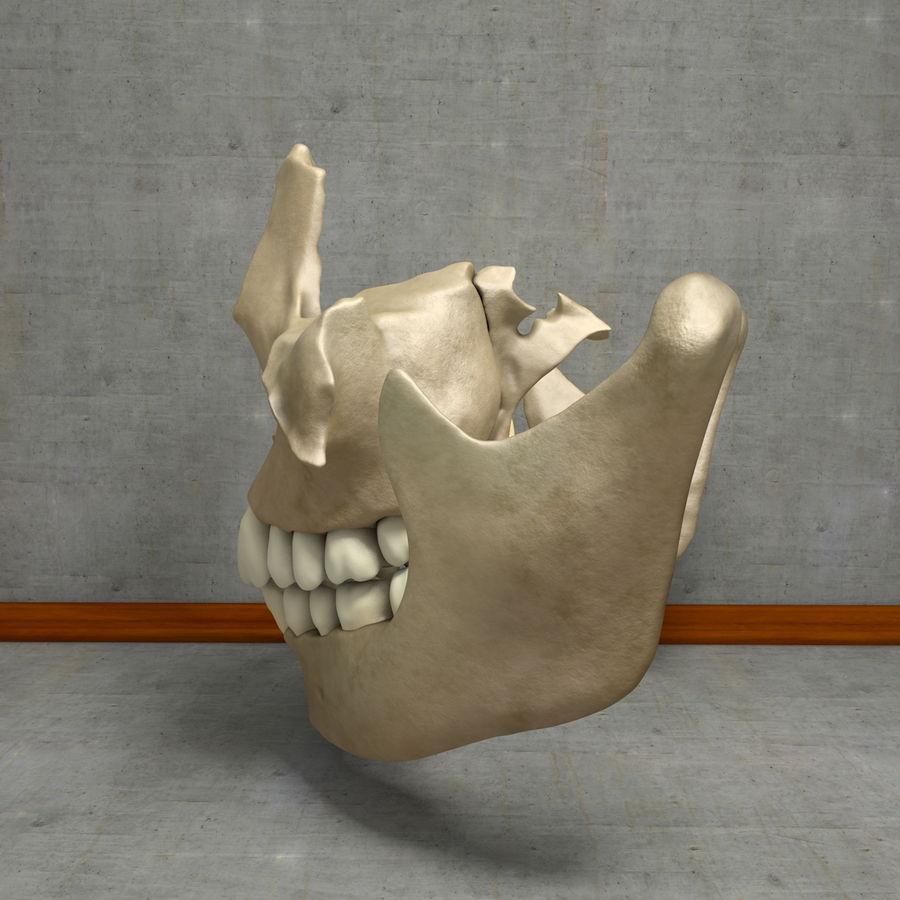 Jawbones 및 잇몸 해부학을 가진 인간의 치아 royalty-free 3d model - Preview no. 19