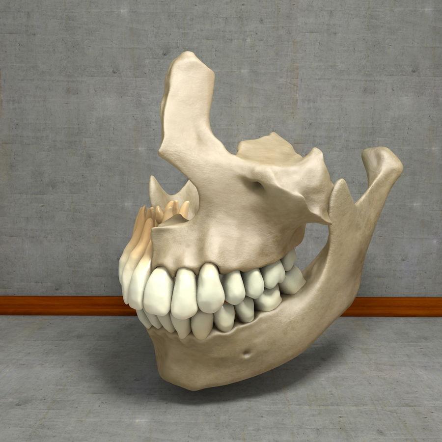 Jawbones 및 잇몸 해부학을 가진 인간의 치아 royalty-free 3d model - Preview no. 21
