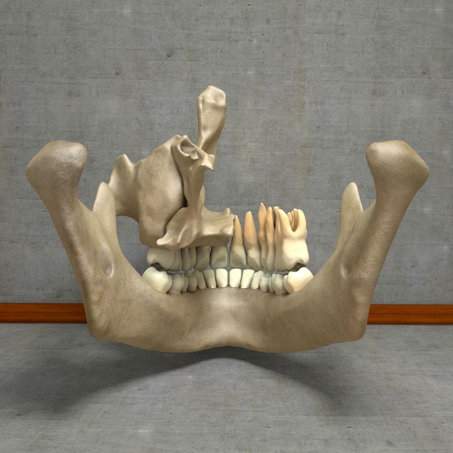 Jawbones 및 잇몸 해부학을 가진 인간의 치아 royalty-free 3d model - Preview no. 17