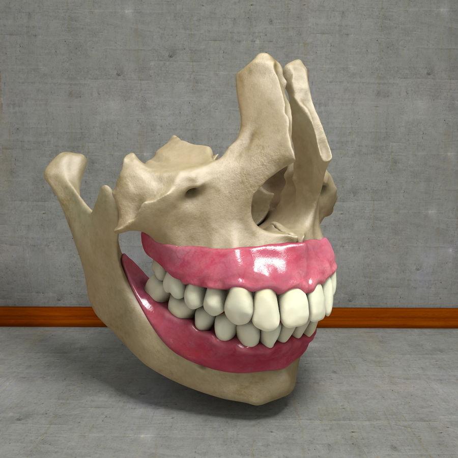 Jawbones 및 잇몸 해부학을 가진 인간의 치아 royalty-free 3d model - Preview no. 3