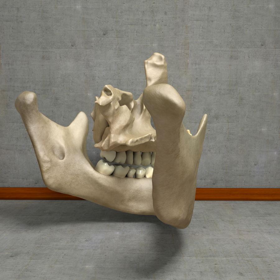 Jawbones 및 잇몸 해부학을 가진 인간의 치아 royalty-free 3d model - Preview no. 16