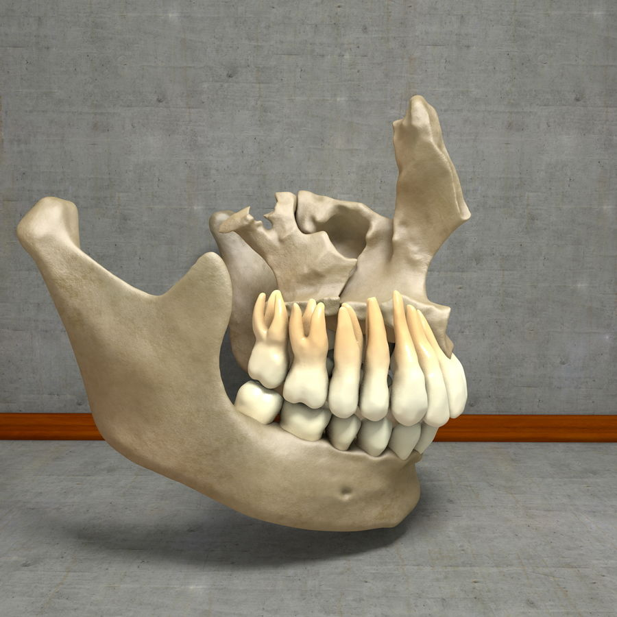 Jawbones 및 잇몸 해부학을 가진 인간의 치아 royalty-free 3d model - Preview no. 14