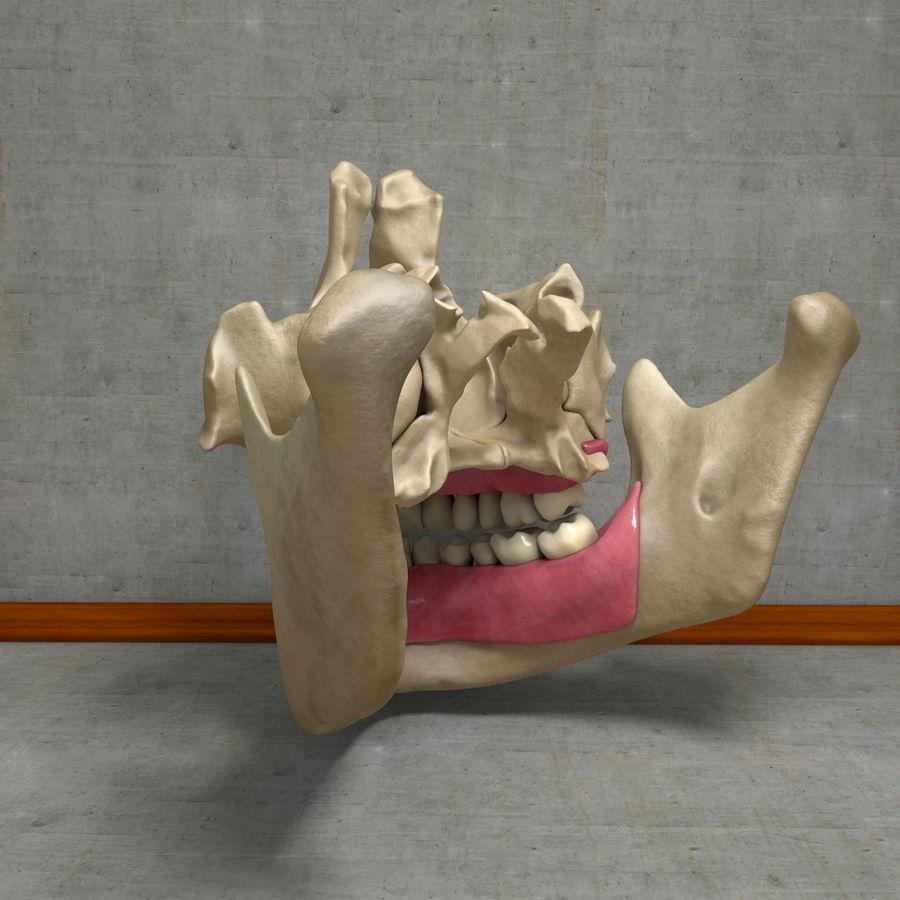 Jawbones 및 잇몸 해부학을 가진 인간의 치아 royalty-free 3d model - Preview no. 8