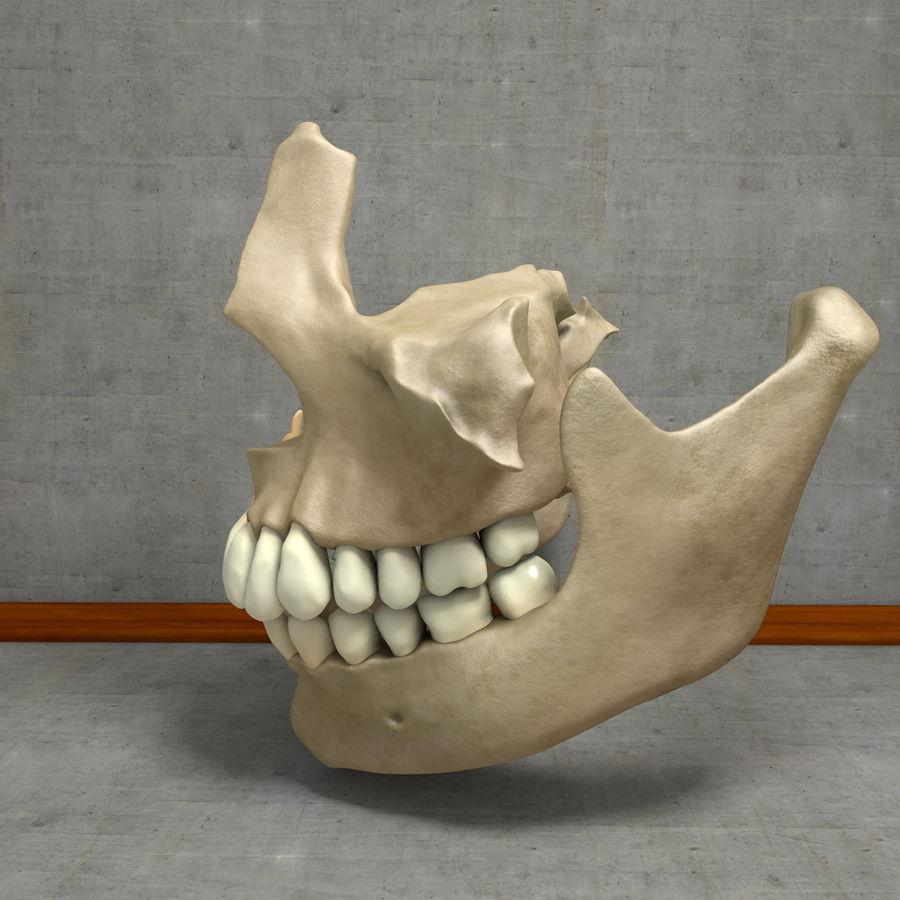 Jawbones 및 잇몸 해부학을 가진 인간의 치아 royalty-free 3d model - Preview no. 20
