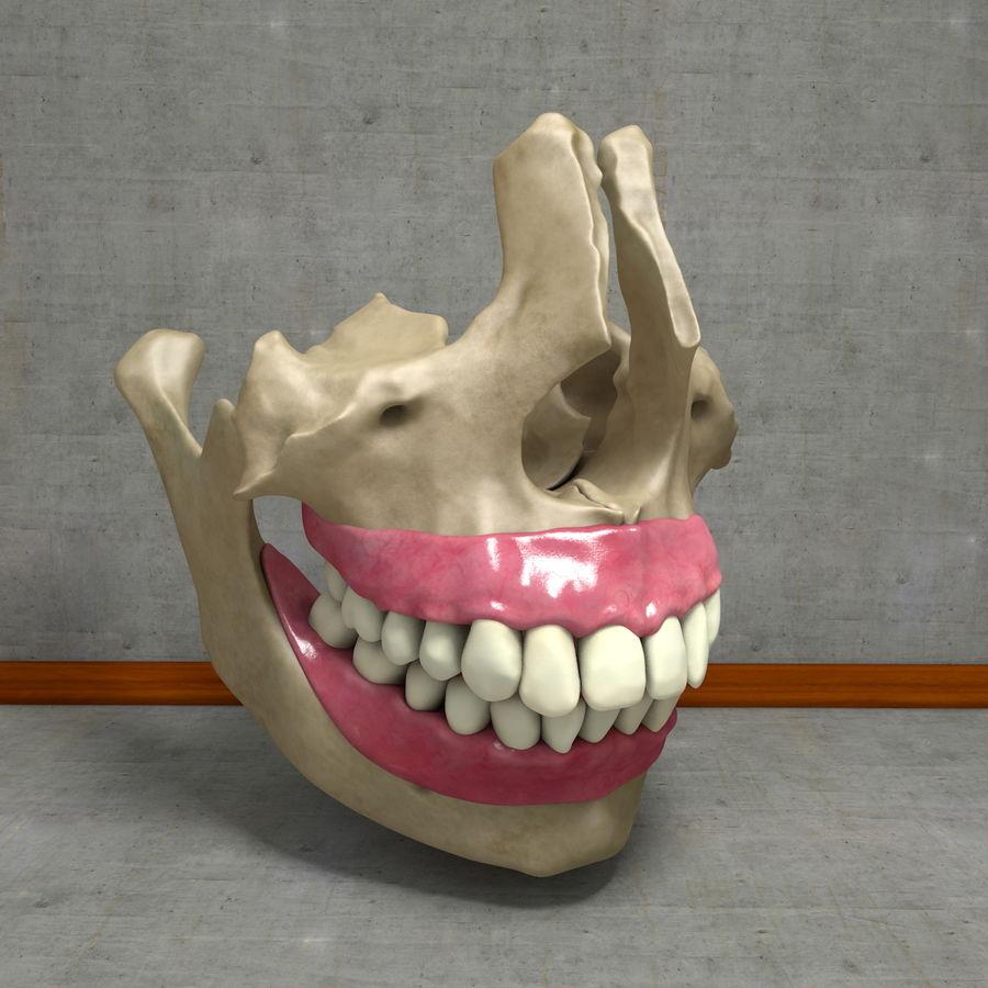 Human Teeth With Jawbones And Gums Anatomy 3d Model 49 Fbx Obj