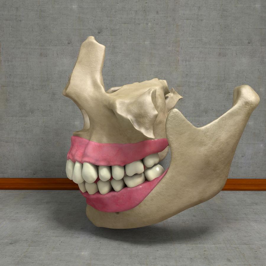 Jawbones 및 잇몸 해부학을 가진 인간의 치아 royalty-free 3d model - Preview no. 10