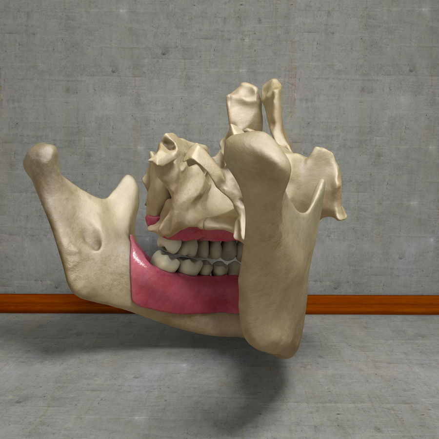 Jawbones 및 잇몸 해부학을 가진 인간의 치아 royalty-free 3d model - Preview no. 6