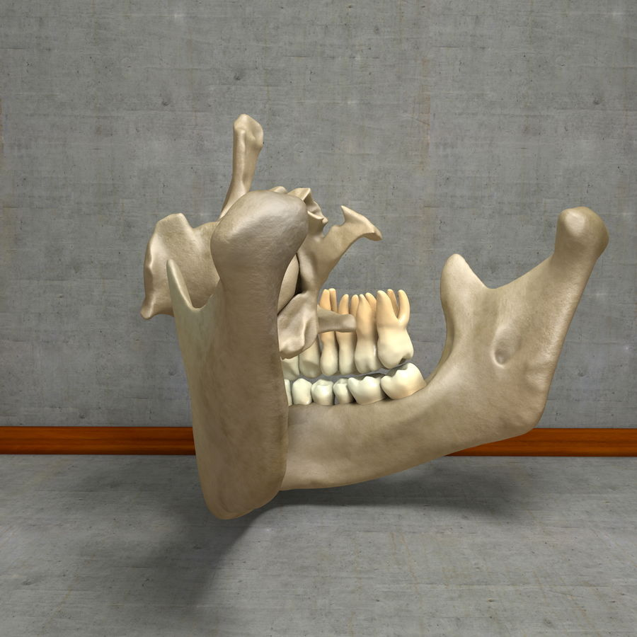 Jawbones 및 잇몸 해부학을 가진 인간의 치아 royalty-free 3d model - Preview no. 18