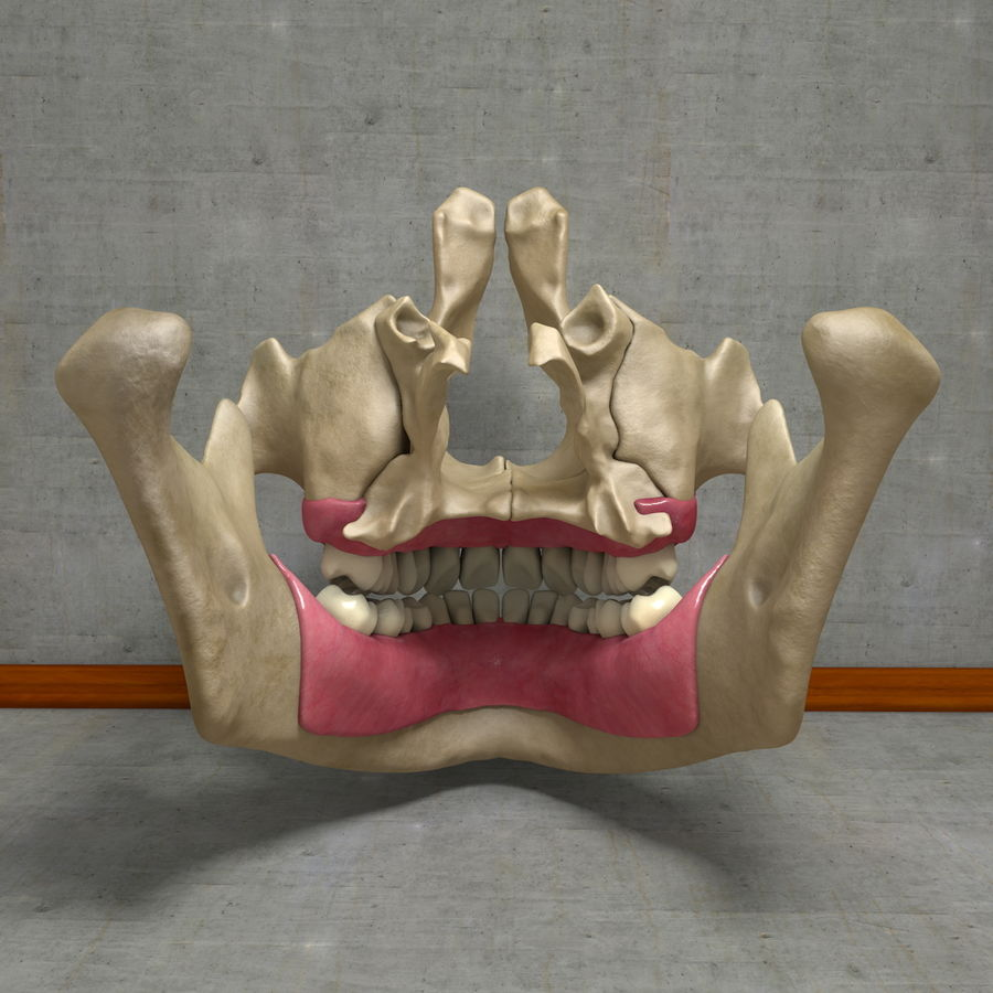 Jawbones 및 잇몸 해부학을 가진 인간의 치아 royalty-free 3d model - Preview no. 7