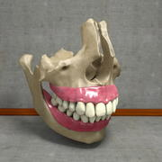 Human Teeth with Jawbones and Gums Anatomy 3d model