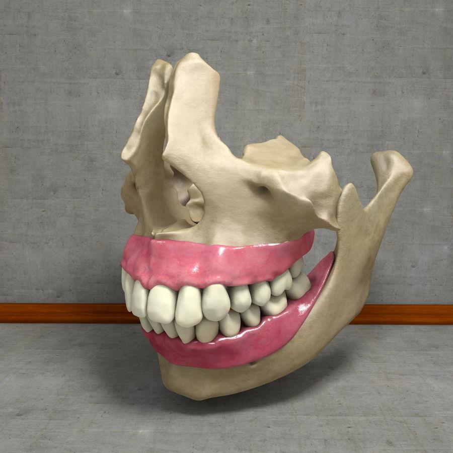 Jawbones 및 잇몸 해부학을 가진 인간의 치아 royalty-free 3d model - Preview no. 11