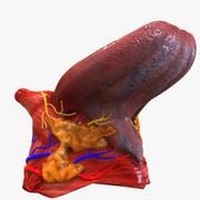 Anatomía de la lengua modelo 3d