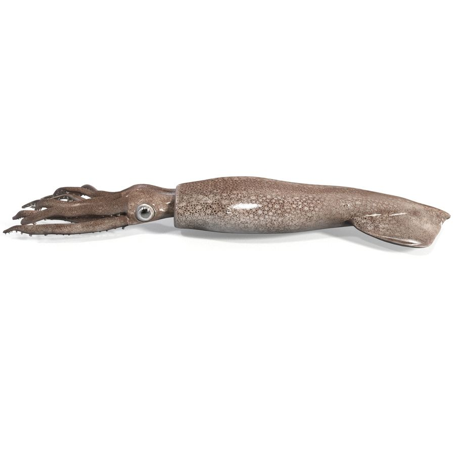 Fresh Squid royalty-free 3d model - Preview no. 5