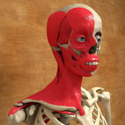 Ultimate Human Facial and Neck Muscles Anatomy 3d model