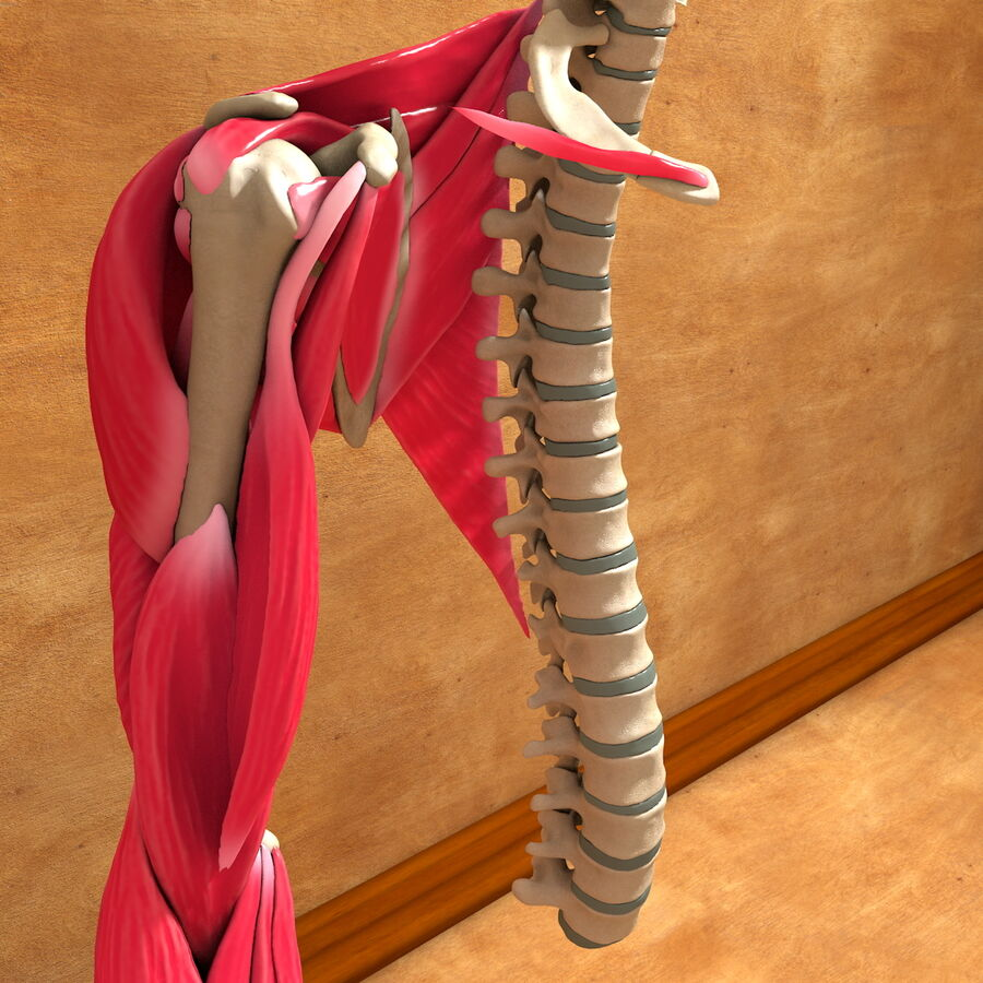 Ultimate Human Complete Arm Anatomy royalty-free 3d model - Preview no. 7