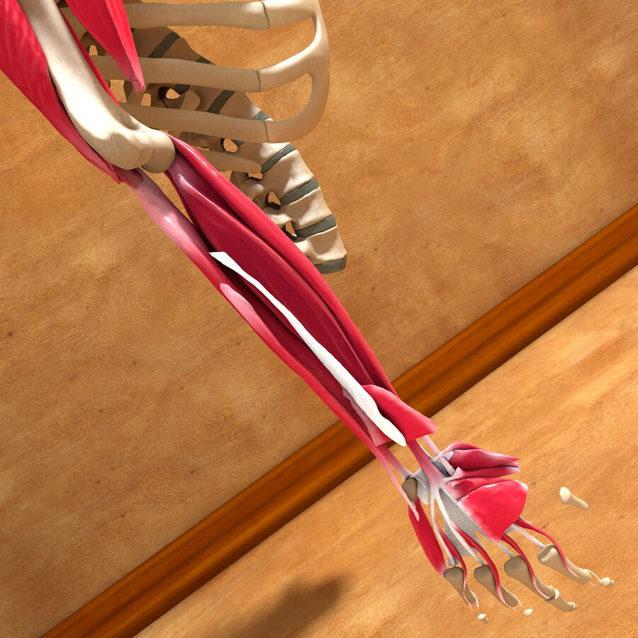 Ultimate Human Complete Arm Anatomy royalty-free 3d model - Preview no. 23