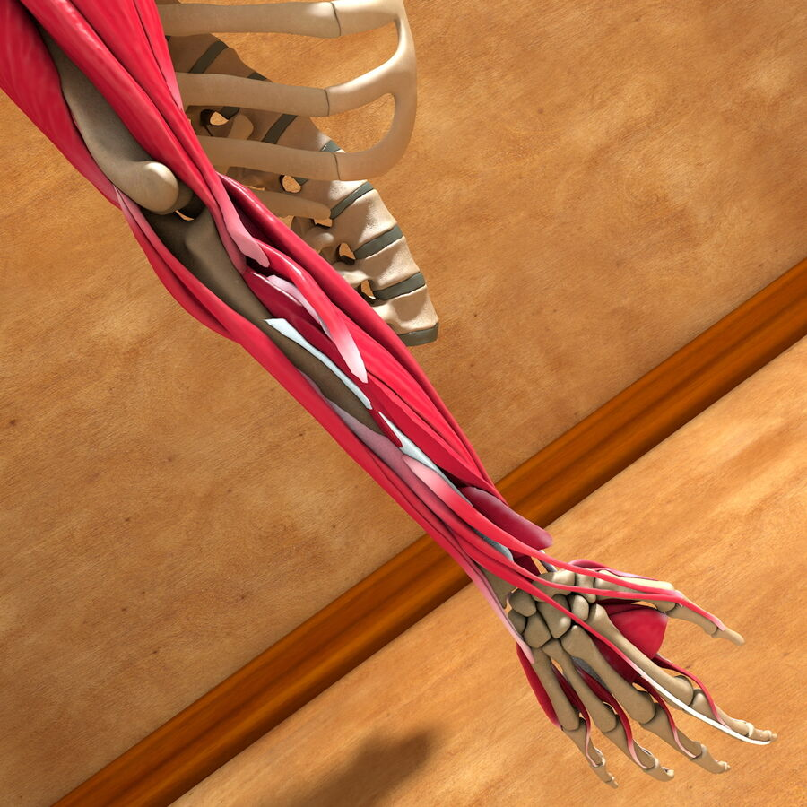 Ultimate Human Complete Arm Anatomy royalty-free 3d model - Preview no. 21