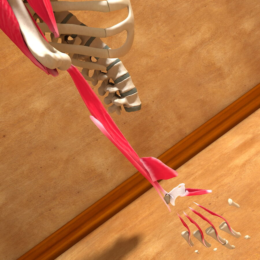 Ultimate Human Complete Arm Anatomy royalty-free 3d model - Preview no. 25