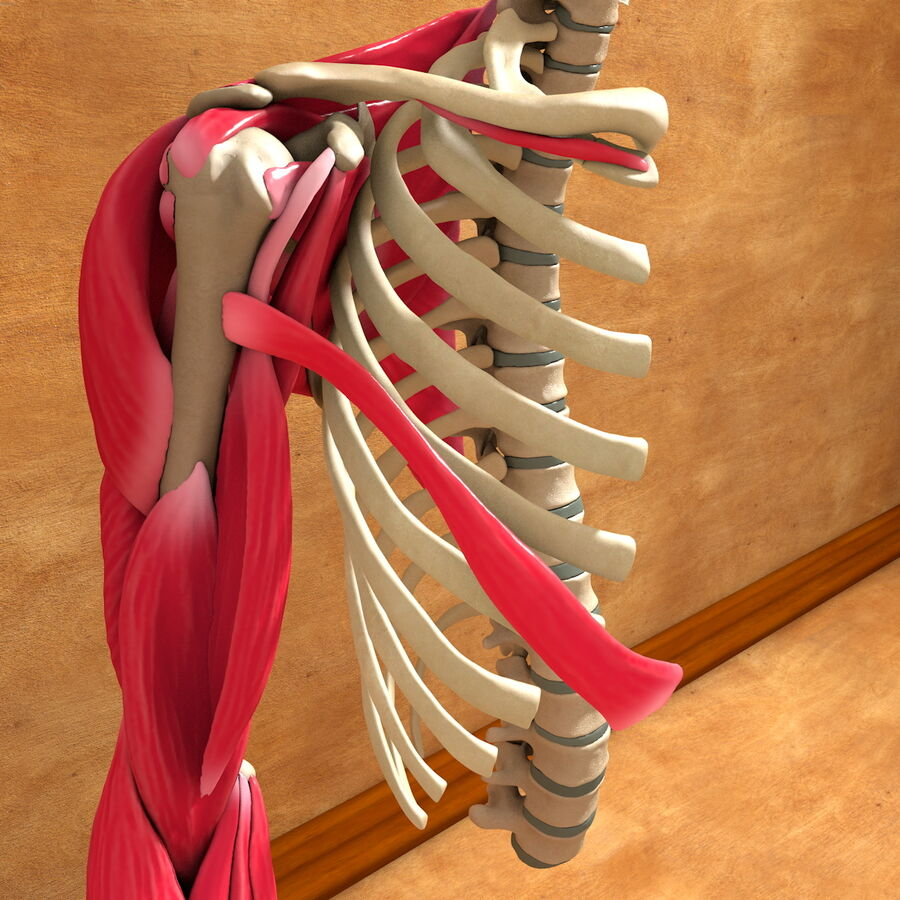 Ultimate Human Complete Arm Anatomy royalty-free 3d model - Preview no. 6